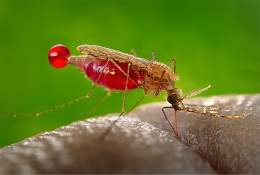 Mosquito de la especie 'Anopheles gambiae'.