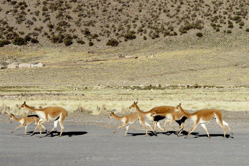 Vicuñas de los Andes, posibles presas de los primeros cazadores andinos