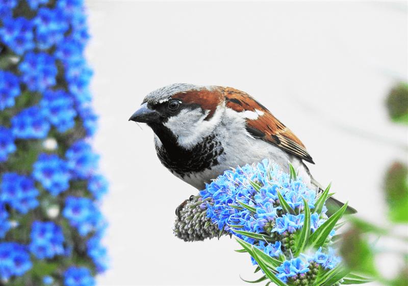 Passer domesticus - Gorrión Común - La contaminación acústica tuvo como efecto una menor eclosión en los nidos de gorrión común, no obstante la contaminación lumínica tuvo el efecto contrario.