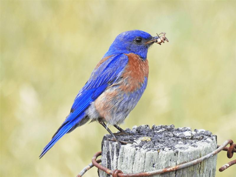 Sialia mexicana - Azulejo de garganta azul - El éxito de las nidadas de los azulejos de garganta azul incremento positivamente con el incremento de la contaminación lumínica.