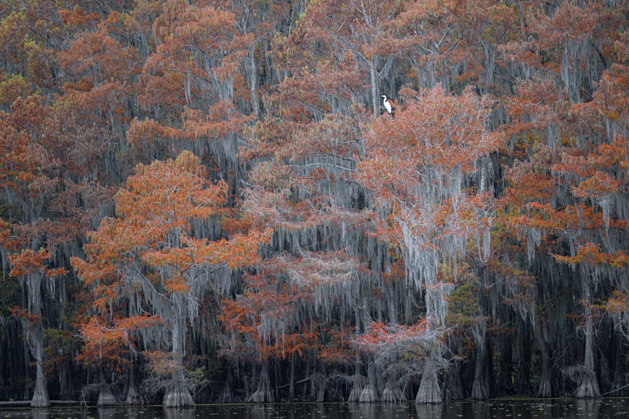 Lone egret among fall colors of the cypress swamp