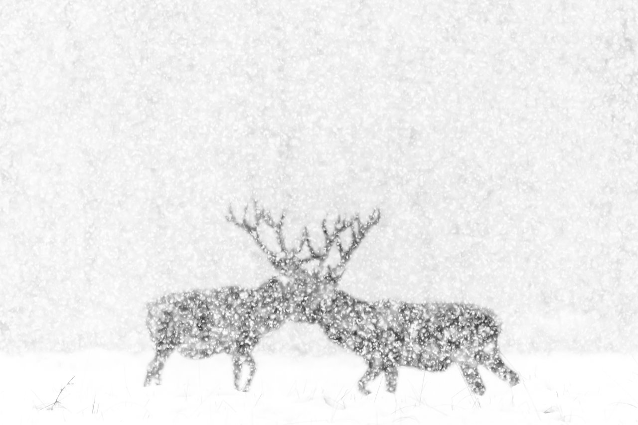 Red deer in white