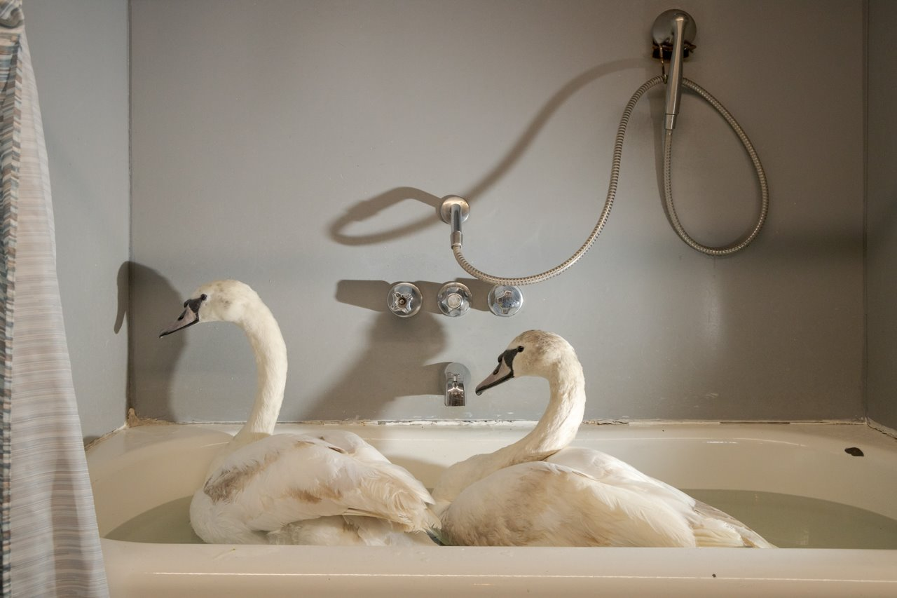 Swans in a bathtub
