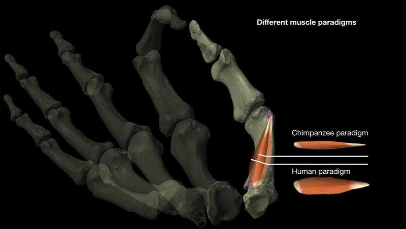 Diferencia entre los  músculos del pulgar de humanos y chimpancés