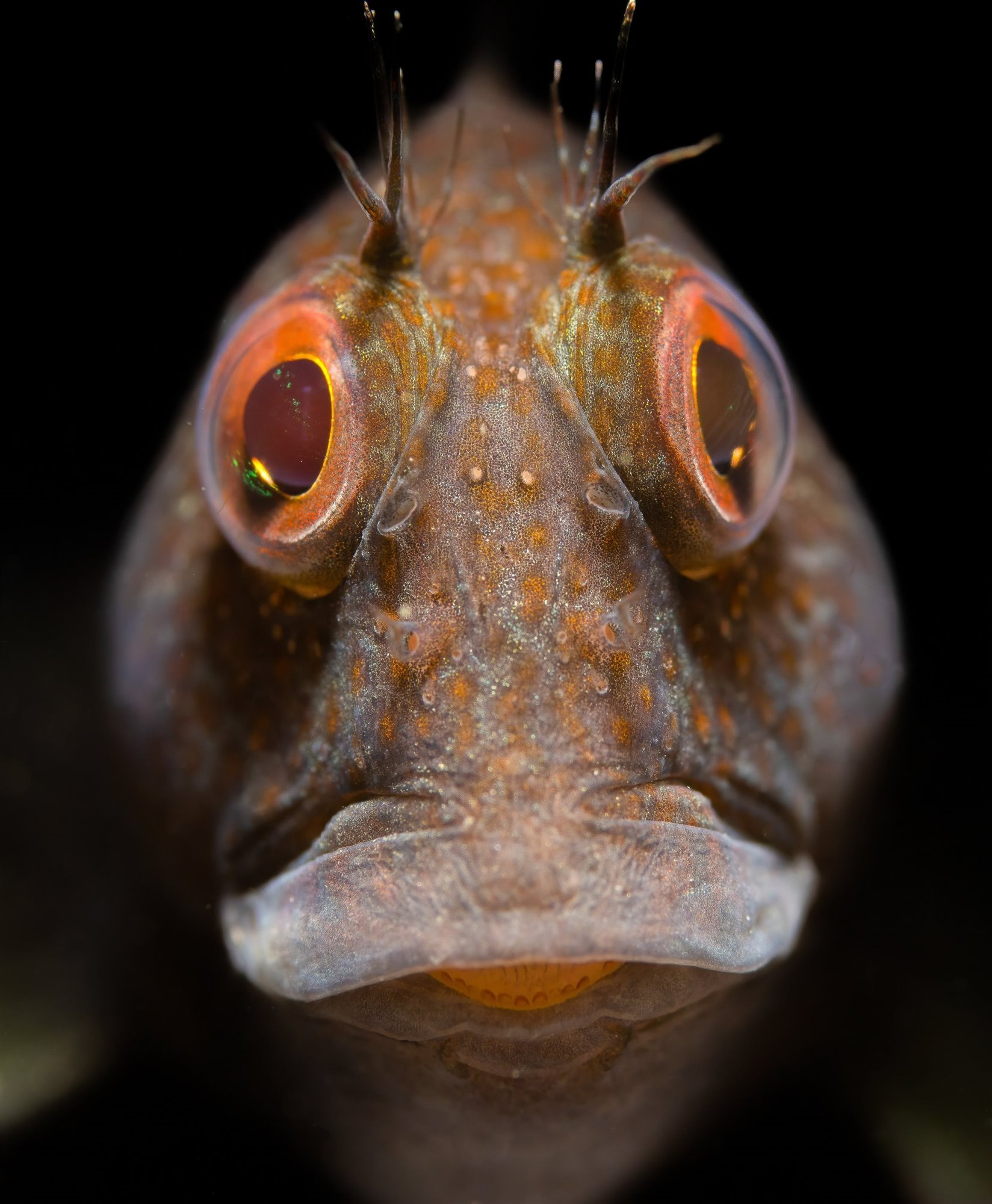 Portrait of a Variable Blenny