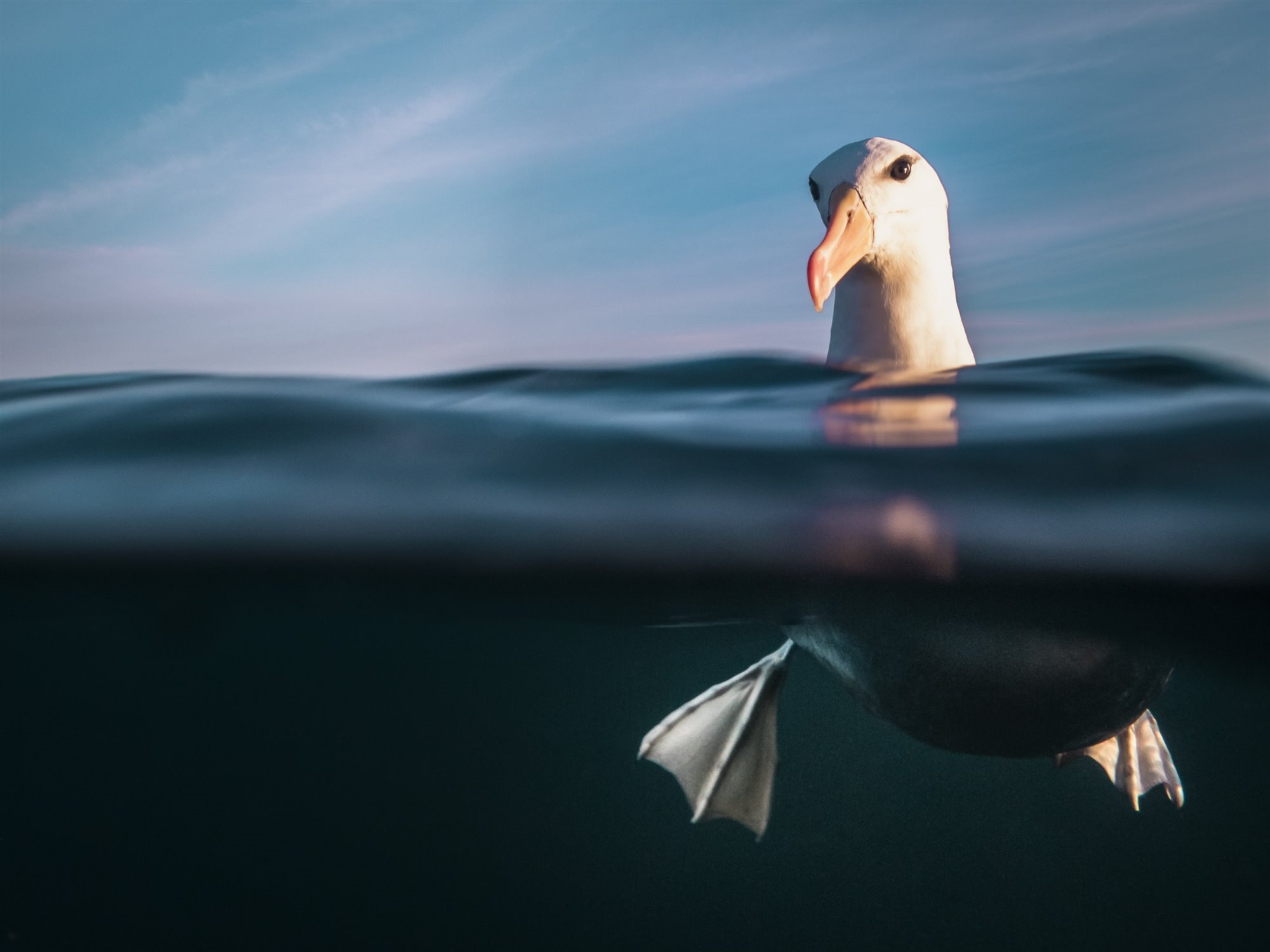 Resplendence -  Black Browed Albatross