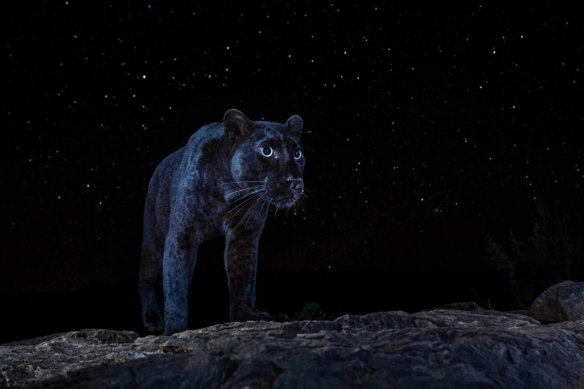 Black Leopard Under the Stars / Night of the Leopard I