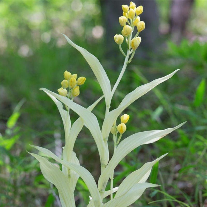 Plantas albinas, la orquídea fantasma devoradora de hongos