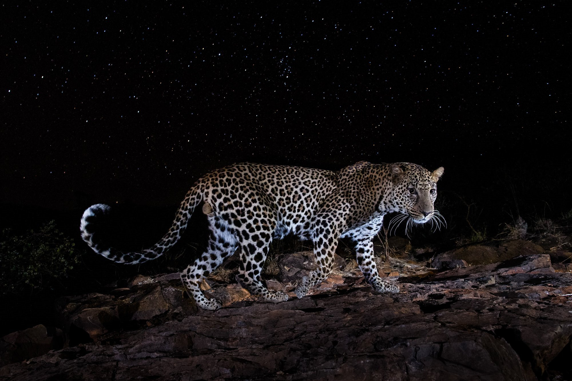 Starlit Leopard / Night of the Leopard II