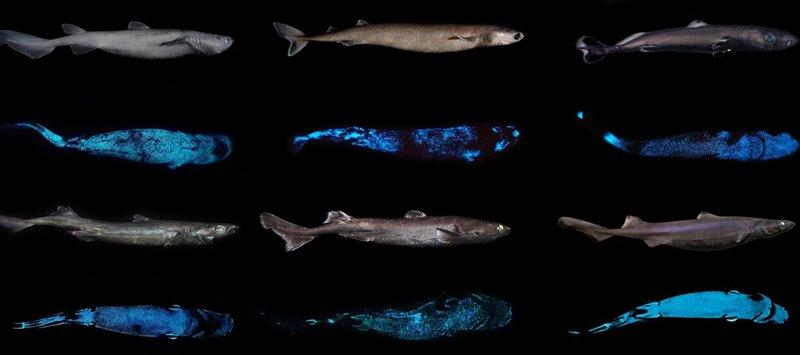 Tiburones bioluminiscentes