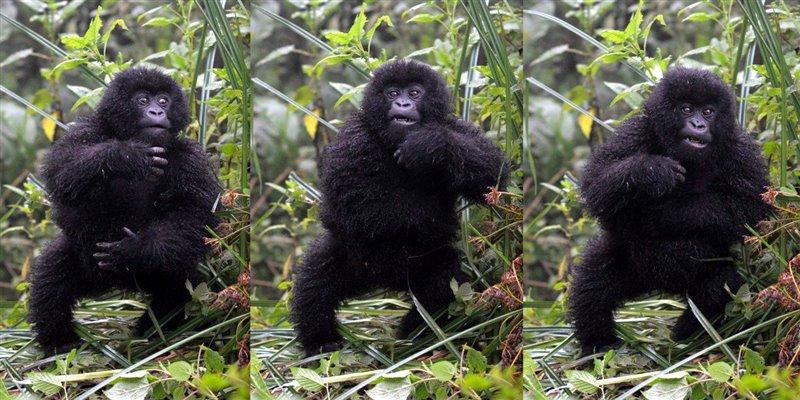 Serie que muestra a un gorila de montaña juvenil -Gorilla beringei beringei- golpeando su tórax.jpg