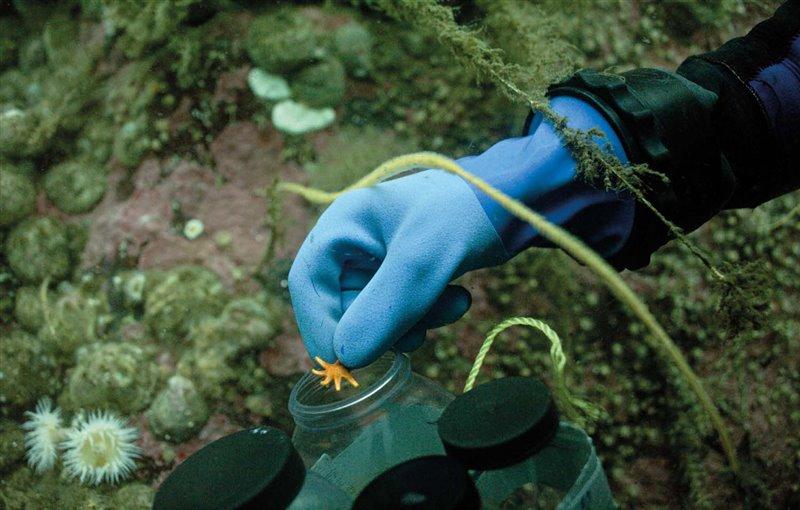 Vreni Häussermann recolecta una diminuta estrella de mar de la especie Solaster regularisy la introduce en un recipiente estanco para examinarla con posterioridad.