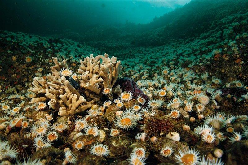 """En esta pradera submarina alfombrada de anémonas de la especie """"Anthothoe chilensis"""" conviven erizos de mar """"Loxechinus alba"""", una esponja del género Haliclona y una estrella de mar """"Cosmasterias lurida""""."""