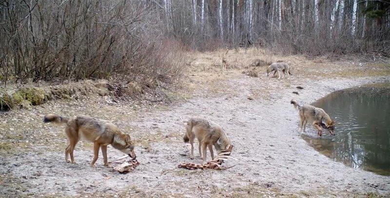 Grupo de lobos alimentándose de los restos de un alce, zona de exclusión de Chernóbil, Ucrania. 2020.