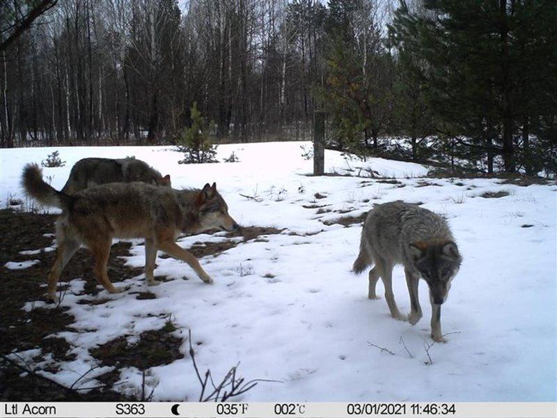 Grupo de lobos en el interior de la zona de exclusión de Chernóbil, Ucrania. 2021.