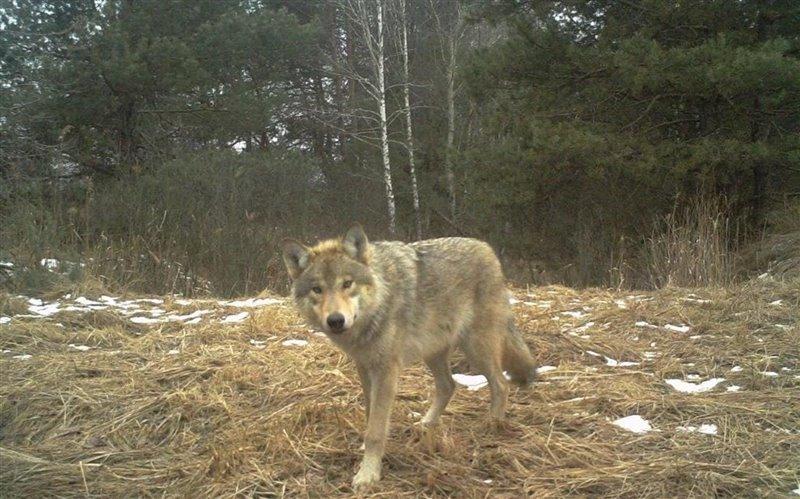 Lobo en la zona de exclusión de Chernóbil, Ucrania. 2015.