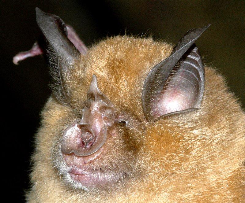 Murciélago grande de herradura - Rhinolophus ferrumequinum