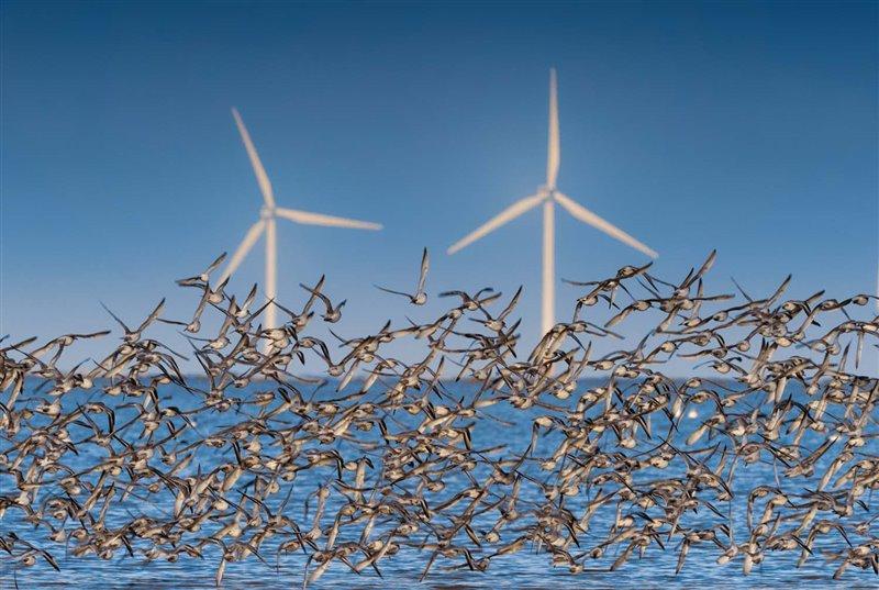 Una bandada de correlimos gordos norteños vuela en círculos frente a un parque eólico marino del mar de Irlanda. Esta subespecie cría  en el Ártico canadiense y en Groenlandia e inverna en las costas de Europa occidental. En Europa se está investigando si los aerogeneradores marinos suponen una amenaza muy significativa para las poblaciones de aves.