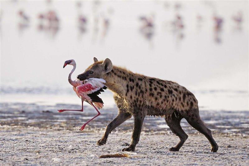 Una hiena manchada se prepara para saborear la carne de  un flamenco enano  en el lago Nakuru de Kenya. Los flamencos enanos son vulnerables a depredadores como hienas y chacales, de modo que se protegen congregándose en grupos numerosos. Cuando se mantienen juntos, su probabilidad de sobrevivir es mayor.