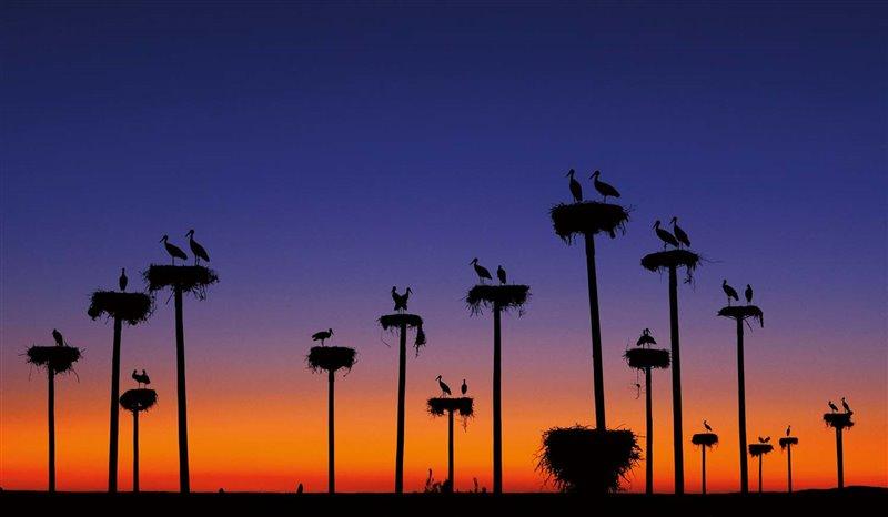 Las cigüeñas blancas anidan en perchas elevadas. Estos postes artificiales instalados en Cáceres salvaron  a una colonia que vivía junto a una casa rural abandonada que iba a ser convertida en hotel. La migración de las cigüeñas blancas es muy variable: unas invernan en África mientras que otras  se quedan en Europa.