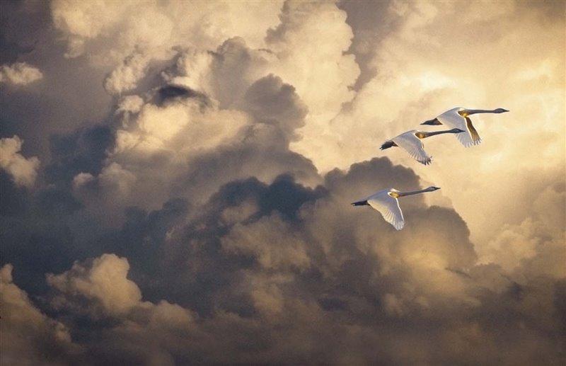 Tres cisnes chicos baten las alas armoniosamente en  un cielo cuajado de nubes mientras vuelan desde el Ártico, donde crían, hasta la costa pacífica de Estados Unidos, donde pasarán el invierno. Generalmente esta especie viaja en grupos familiares de hasta más de cien individuos.