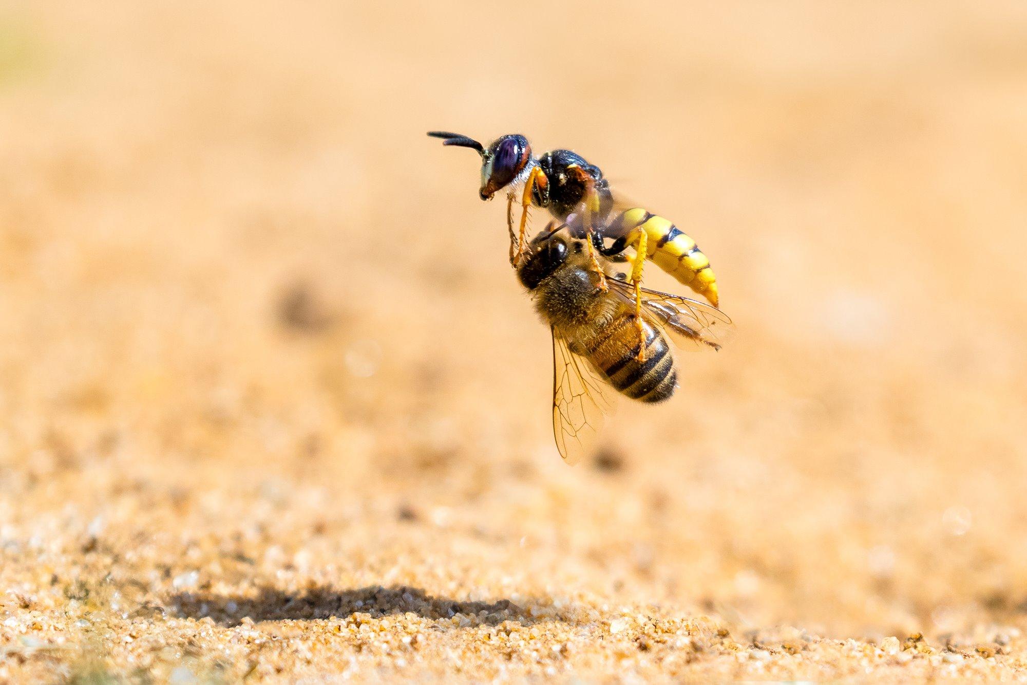 Bee Wolf with Honeybee Prey