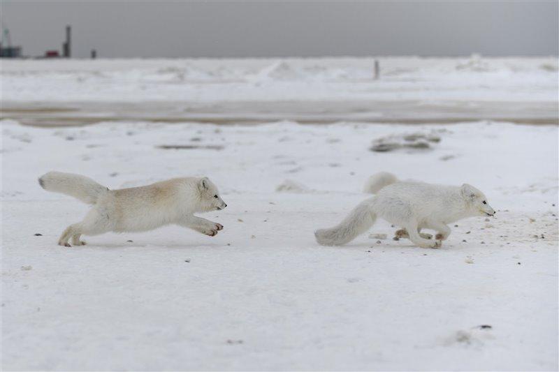 Dos zorros árticos - Vulpes lagopus- juegan en la nieve