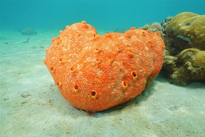 Cliona delitrix. Esponja de la clase demospongiae, o esponja córnea
