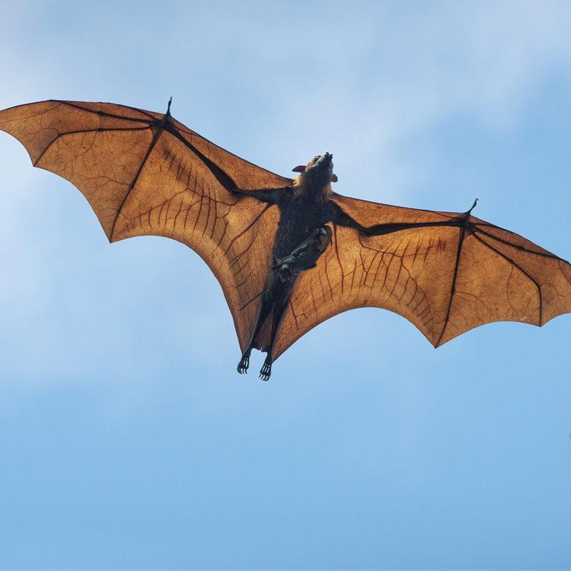 ¿Cuánto sabes sobre murciélagos?